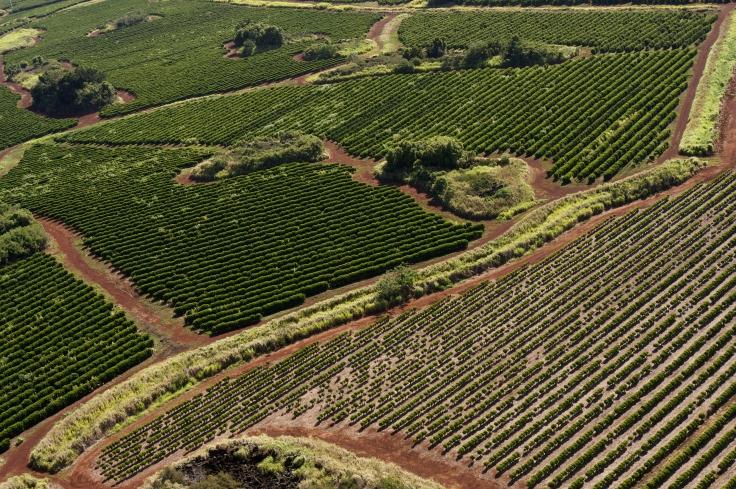 Coffee_plantation,_Kauaʻi_58.jpg
